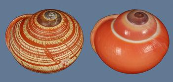 Calocochlia chrysochila